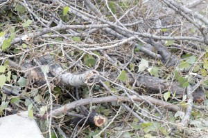 Baumschnitt Pappel- (1)