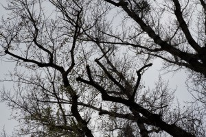 Baumschnitt Pappel- (2)